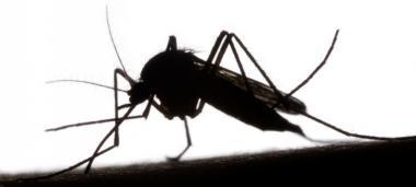 Le gouvernement lance un plan d'action pour tenter d'éradiquer deux nouvelles espèces de moustiques, vecteurs potentiels de maladies.